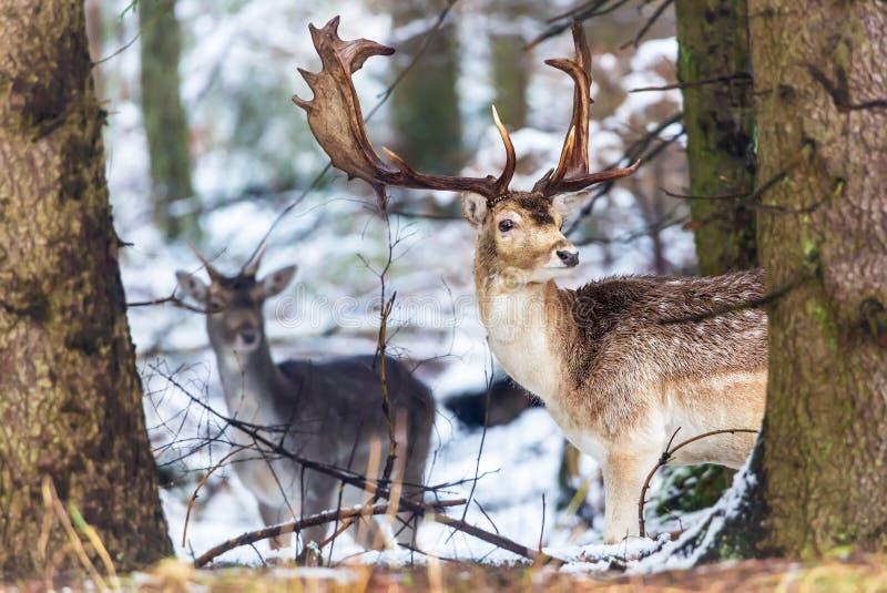 小鹿与看照相机的大鹿角的黄鹿黄鹿在树后的冬天森林里 自然的横向 在自然h的动物 库存照片