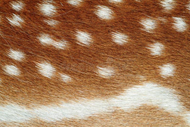 小鹿兽皮美好的纹理  免版税库存图片