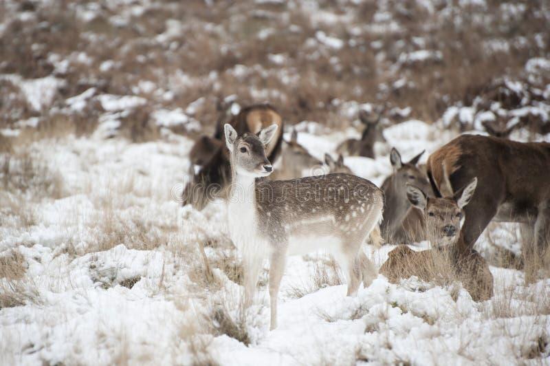 小鹿和马鹿的美好的图象在雪冬天地产 免版税图库摄影