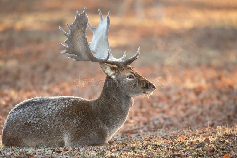 小鹿在晚秋天 图库摄影