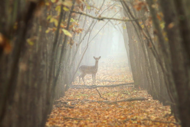 小鹿在有薄雾的森林里 免版税库存图片