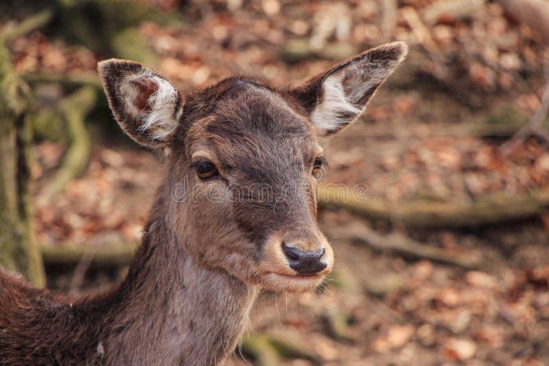 小鹿在森林里 免版税库存照片