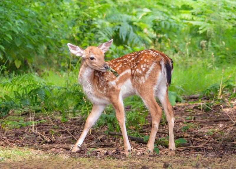 小鹿在沃里克郡森林地讨好-黄鹿黄鹿 库存照片