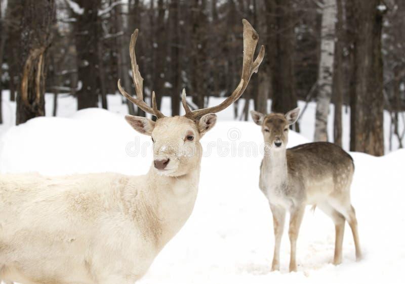 小鹿在看照相机的冬天 免版税库存图片