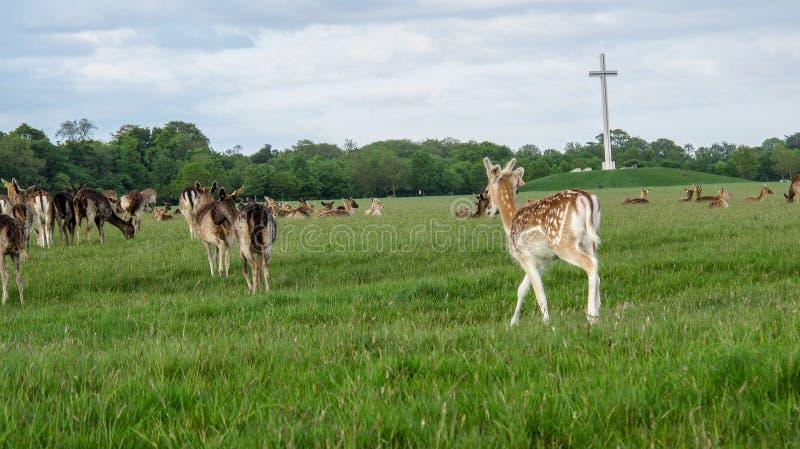 小鹿在菲尼斯公园 库存照片