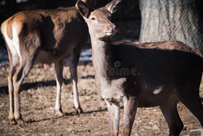 小鹿夫妇画象看照相机的  免版税图库摄影