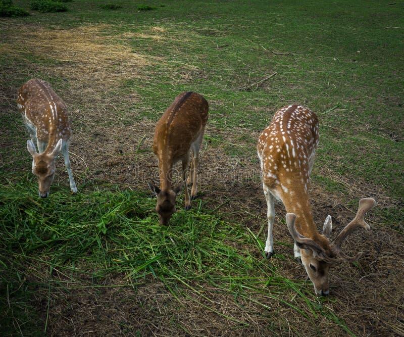 小鹿家庭在草甸吃草 库存照片