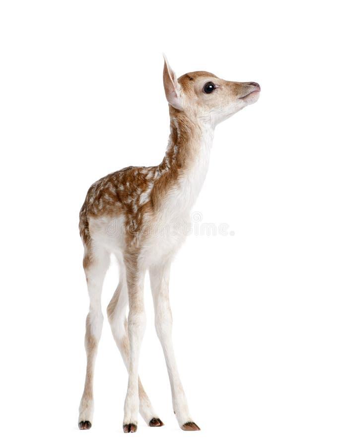 小鹿小鹿,黄鹿黄鹿,5天侧视图年纪 库存照片