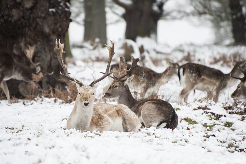 小鹿的美好的图象在雪冬天横向的 库存图片