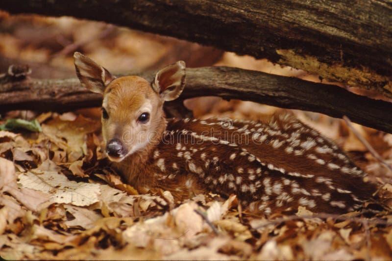 小鹿纵向白尾鹿 库存照片
