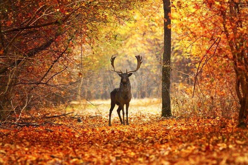 小鹿雄鹿在美丽的秋天森林里 库存照片