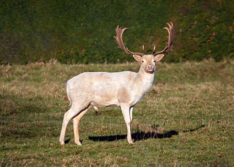 小鹿顽抗-白色黄鹿的黄鹿变体n一晴朗的parkland 免版税库存图片