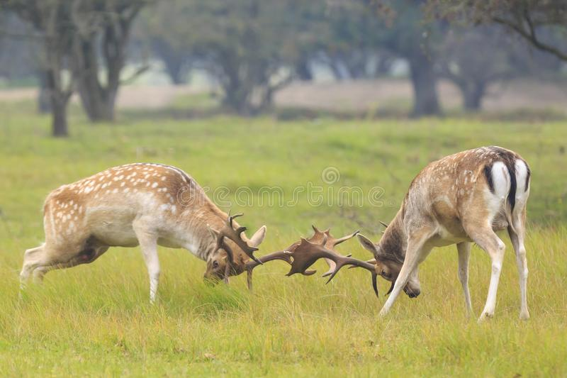 小鹿,黄鹿黄鹿,战斗在rutting季节期间 库存图片