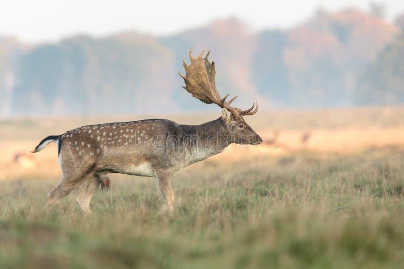 小鹿,黄鹿黄鹿,有鹿角的大型装配架走在草在Eremitagesletten在Dyrehave,丹麦 库存照片