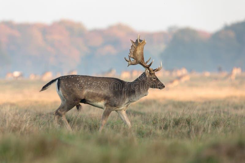 小鹿,黄鹿黄鹿,有鹿角的大型装配架走在草在Eremitagesletten在Dyrehave,丹麦 免版税图库摄影