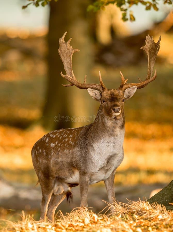 小鹿,黄鹿黄鹿,男性与在美好的金黄光的鹿角在秋天森林里在Dyrehave,丹麦 库存照片