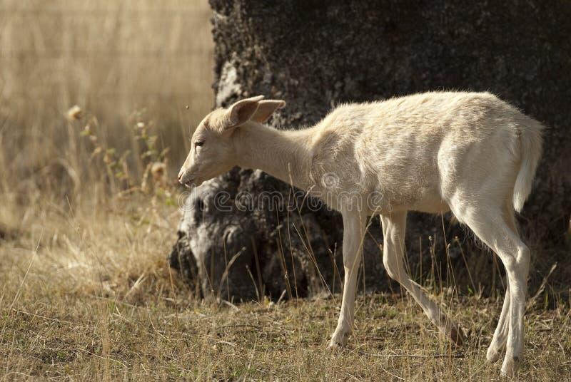 小鹿,黄鹿黄鹿,西班牙,白变种 免版税库存图片