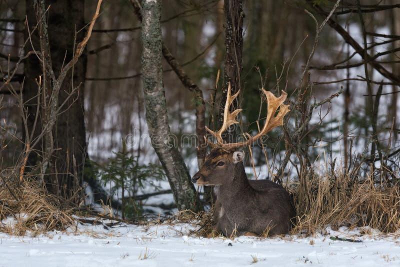 小鹿& x28;黄鹿黄鹿& x29; 一头美丽的小鹿在雪说谎 库存图片