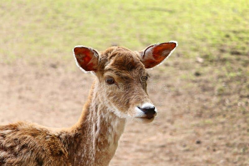 小鹿Cervidae画象  图库摄影