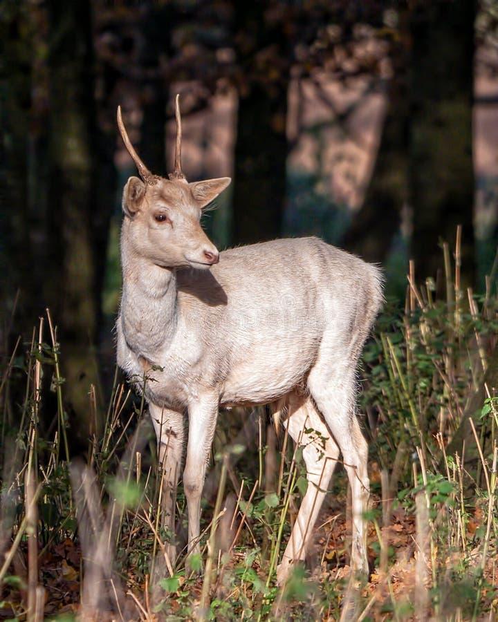小鹿Pricket -黄鹿黄鹿身分在一块晴朗的沼地 免版税库存照片