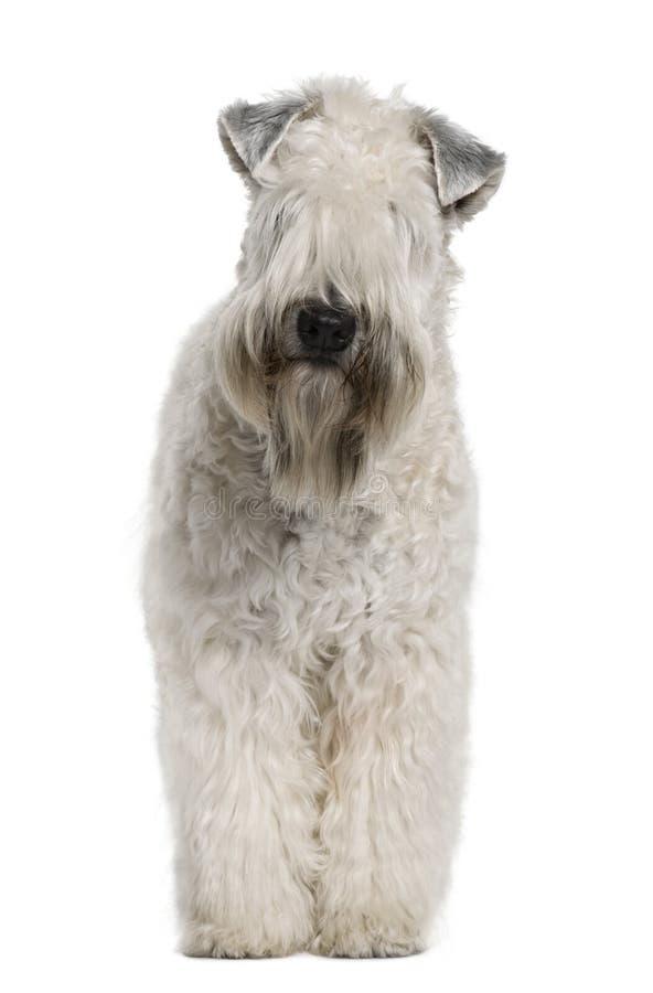 小麦上漆的软的常设的狗 免版税库存照片