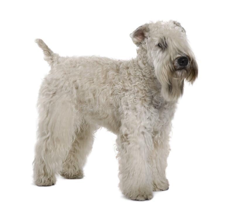 小麦上漆的软的常设的狗 库存图片