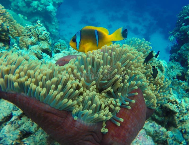 小黄色蓝色nemo鱼在水面下在海在珊瑚礁和海葵属海花的海洋水中在蓝色世界海洋野生生物, 免版税库存照片