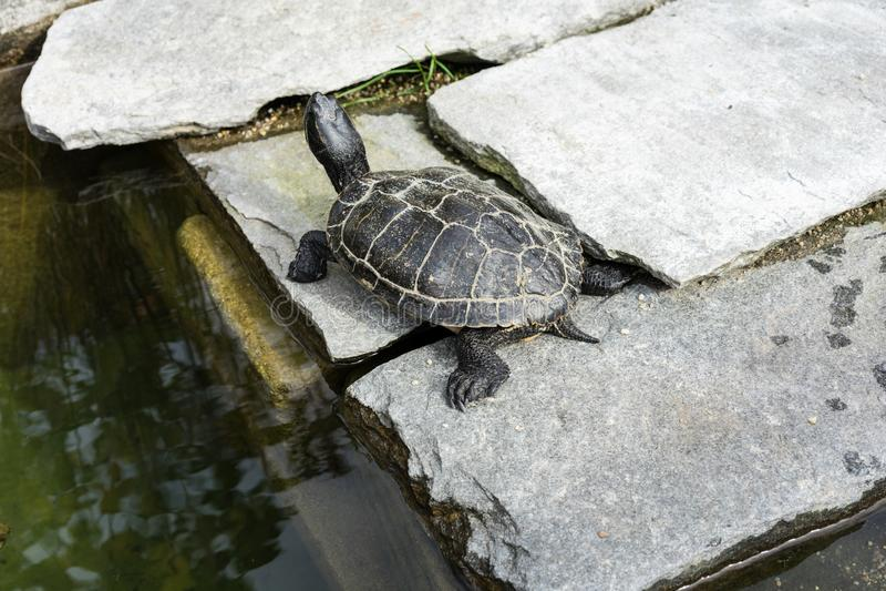 小黑乌龟坐具体岩石在水池旁边 库存图片