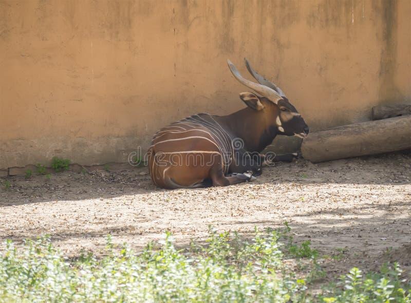 小鼓休息在树荫下的,非洲羚羊类eurycerus 免版税库存照片