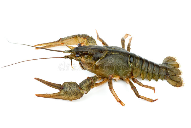 小龙虾查出的白色 免版税库存照片