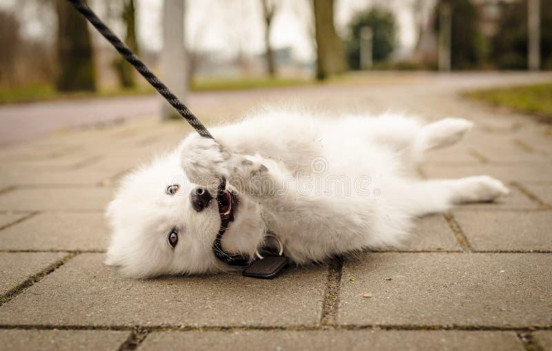 小,蓬松,幼小白色萨莫耶特人小狗在看照相机和咬住她的皮带的地面上放置 库存照片
