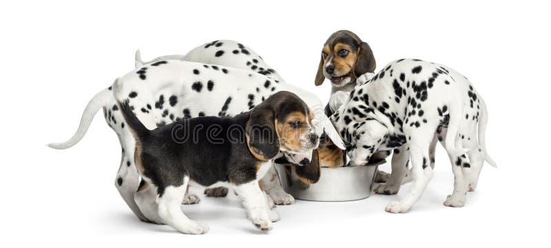 小组一起吃所有的达尔马提亚狗和小猎犬小狗 库存照片