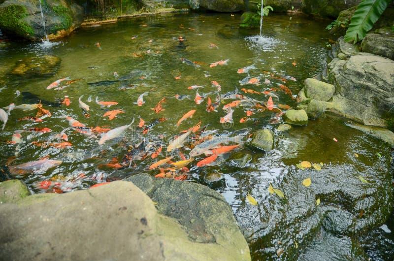 小组与红色,橙色,白色和黄色颜色游泳的Koi鱼在庭院水池 免版税库存图片