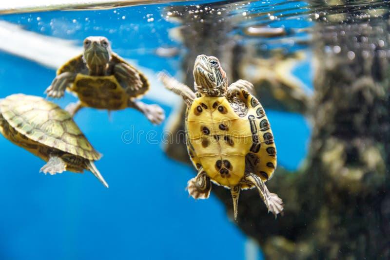 小组乌龟游泳 库存图片