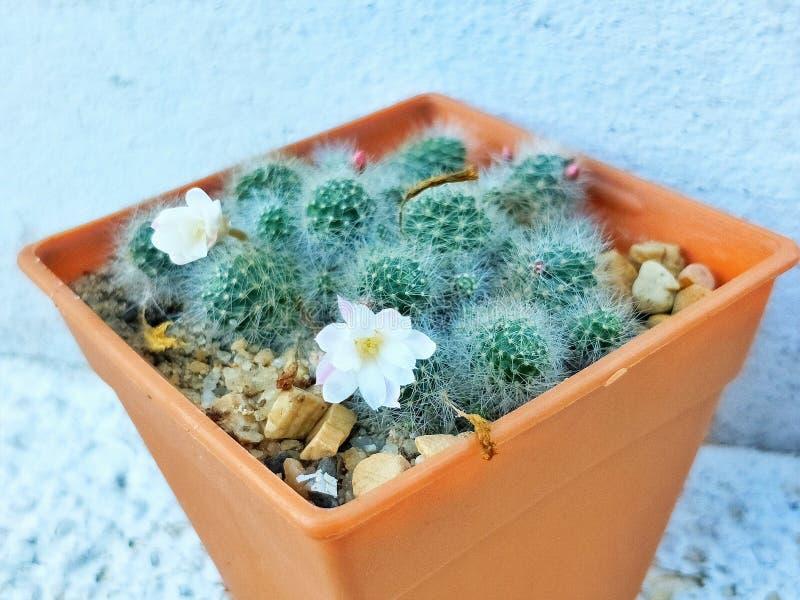 小组仙人掌,白色脊椎有小花在橙色罐 免版税库存图片