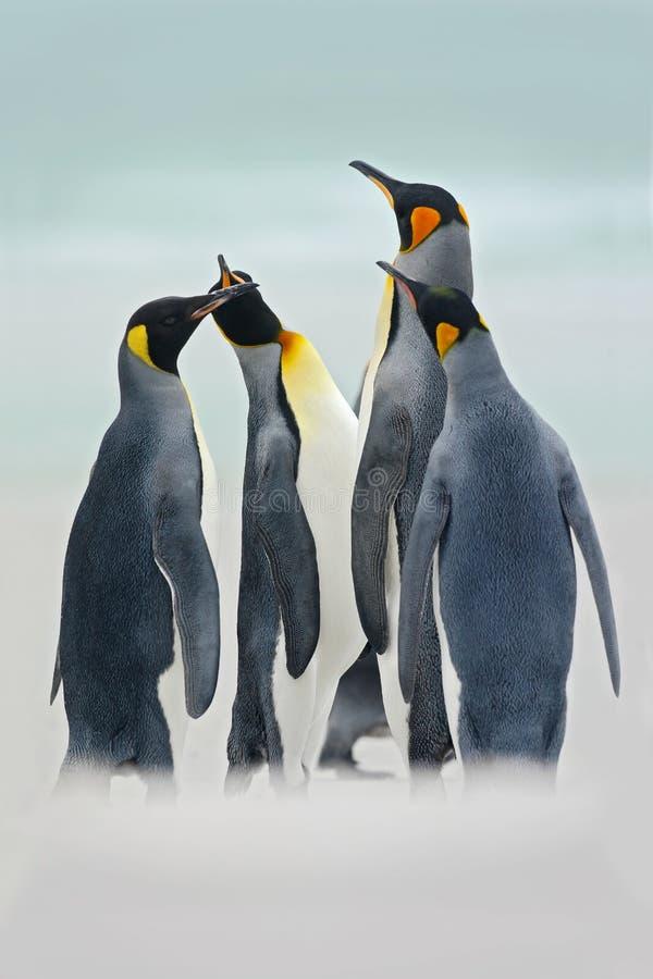 小组企鹅国王在海,志愿点,福克兰群岛 小组在雪的企鹅国王 小组企鹅国王我 库存照片