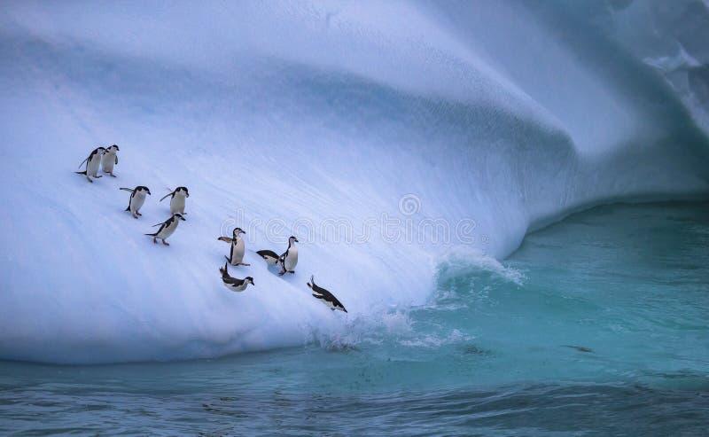 小组企鹅滚动下来冰冷的倾斜入水 安德列耶夫 免版税库存图片