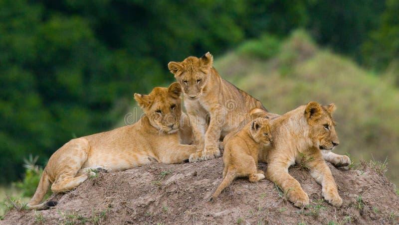 小组在小山的幼小狮子 国家公园 肯尼亚 坦桑尼亚 mara马塞语 serengeti 免版税库存照片