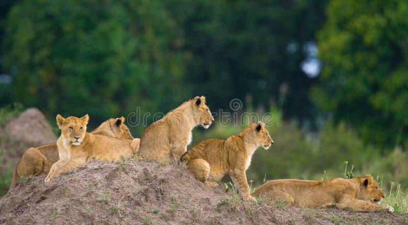 小组在小山的幼小狮子 国家公园 肯尼亚 坦桑尼亚 mara马塞语 serengeti 库存照片