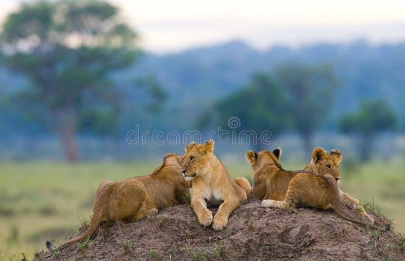 小组在小山的幼小狮子 国家公园 肯尼亚 坦桑尼亚 mara马塞语 serengeti 免版税图库摄影