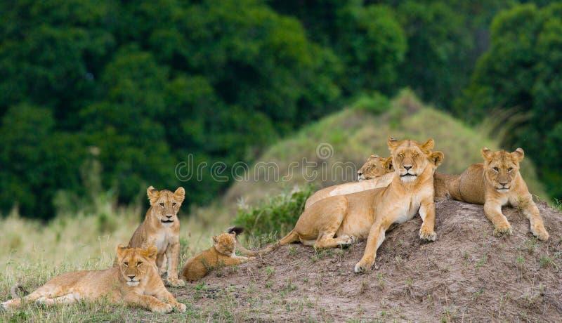 小组在小山的幼小狮子 国家公园 肯尼亚 坦桑尼亚 mara马塞语 serengeti 图库摄影