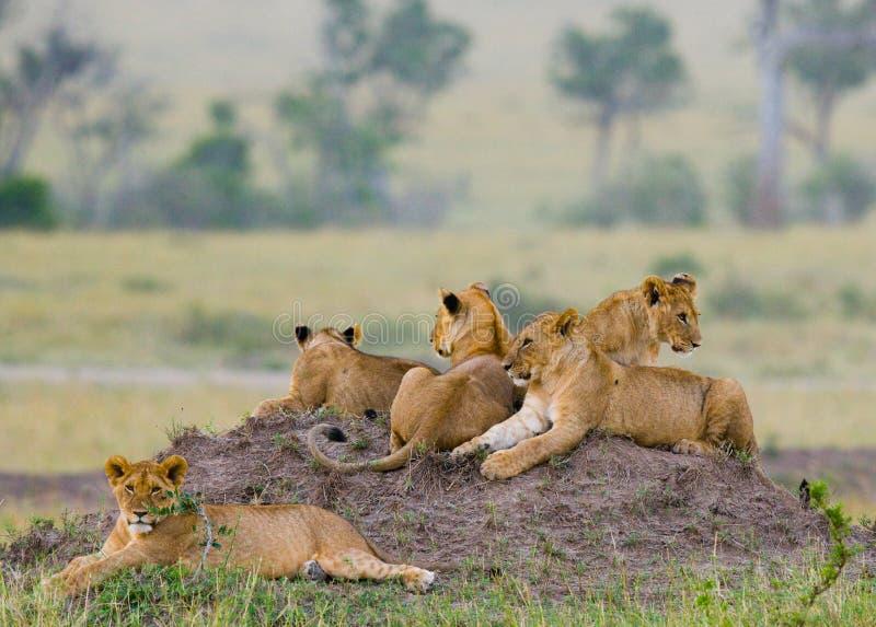 小组在小山的幼小狮子 国家公园 肯尼亚 坦桑尼亚 mara马塞语 serengeti 免版税库存图片