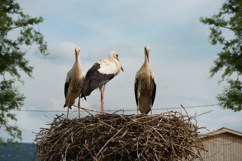 小组在巢的白色鹳 免版税库存图片