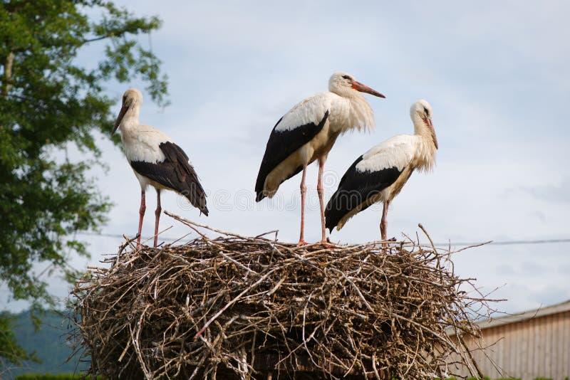 小组在巢的美丽的白色鹳 免版税图库摄影