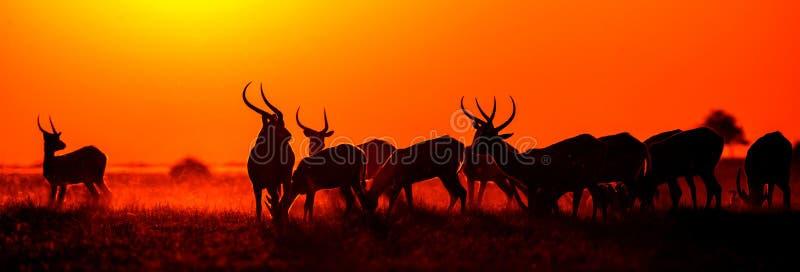 小组在日落的羚羊 特写镜头 博茨瓦纳 Okavango Delta 库存图片