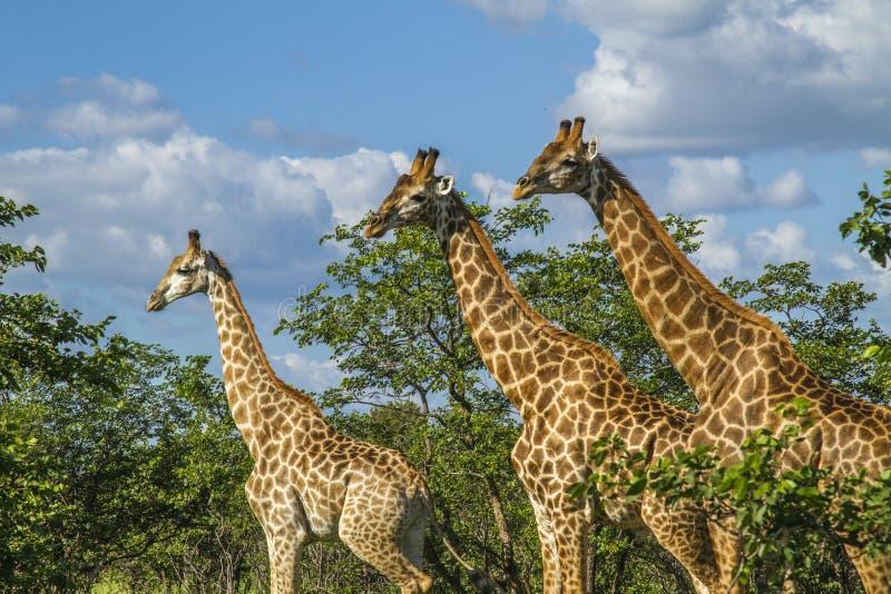 小组在灌木的长颈鹿在克鲁格公园,南非 免版税库存照片