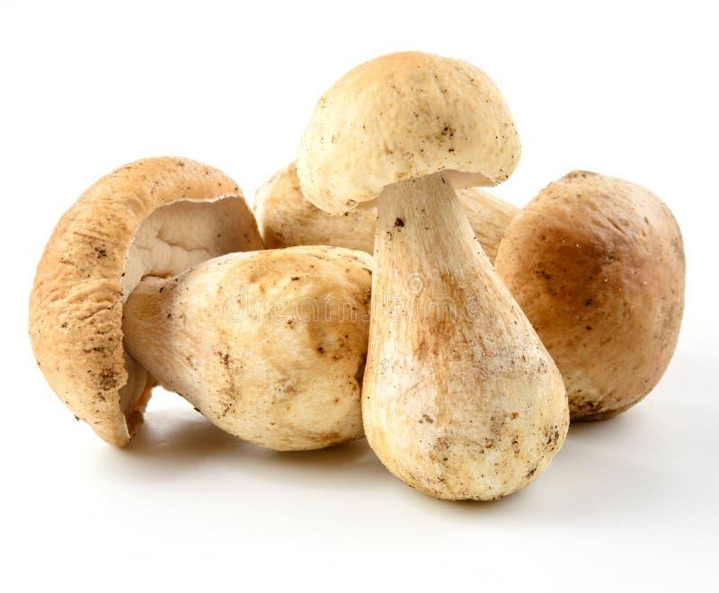 小组在白色的porcini蘑菇 库存图片