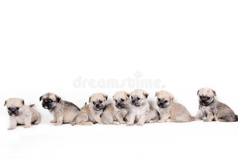 小组在白色背景的逗人喜爱的小狗 库存图片