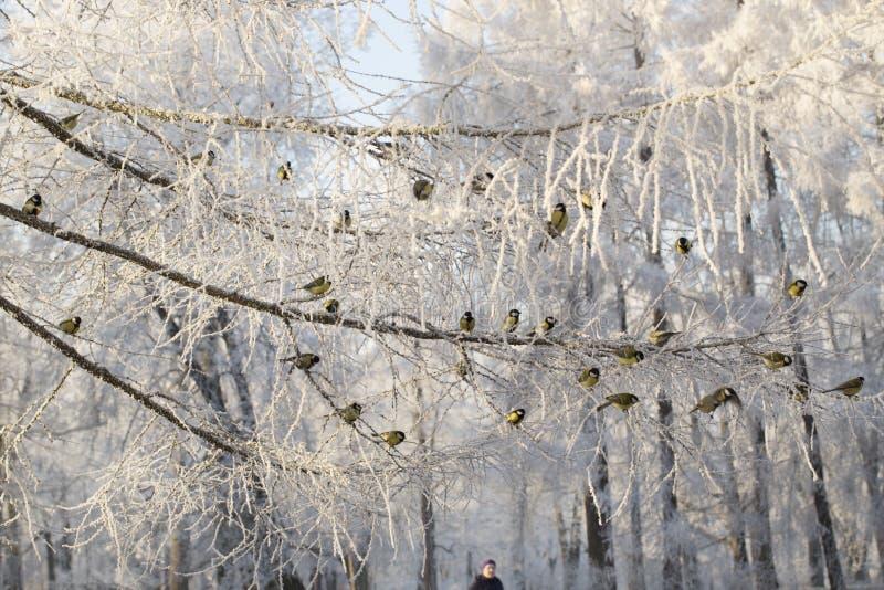 小组在积雪的分支中的titmouses 免版税库存图片