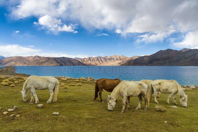 小组在Pangong湖附近的马有蓝天的在Leh区,拉达克,喜马拉雅山,查谟和克什米尔,印度 免版税库存图片